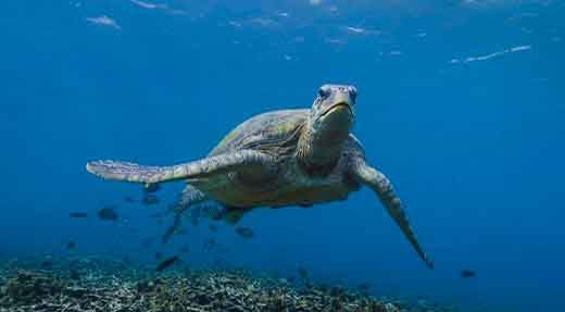 Hawksbill turtle facing the camera in blue water above the reef